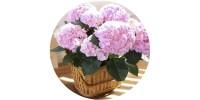 pink hydrangea button