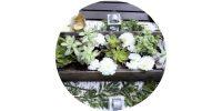succulent button